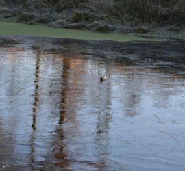 """Das hilflose """"Tier"""" auf dem Teich des ehemaligen Klärwerks  (Bild: Beneke/Stader Tageblatt)"""
